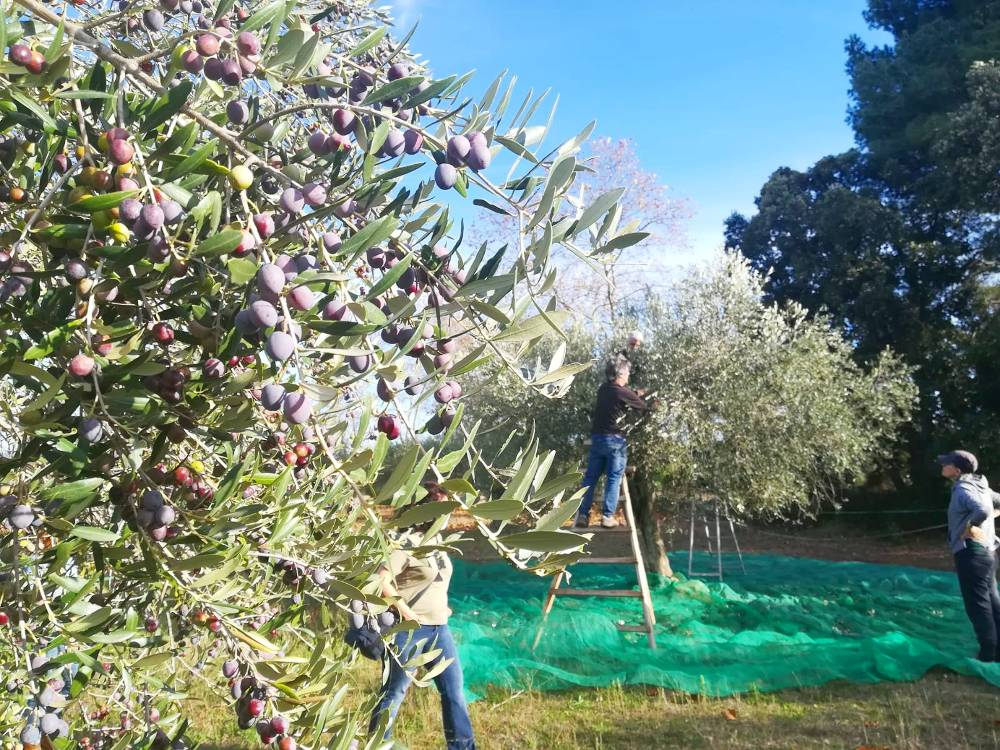 Collint olives